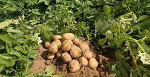 بذر سیب زمینی اصلاح شده