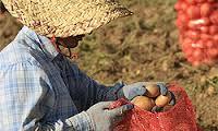 بذر سیب زمینی قوچان