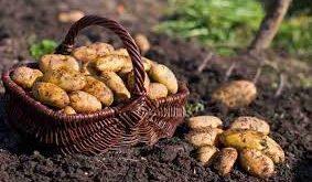 بذر سیب زمینی اردبیل