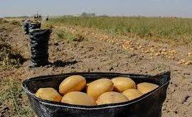 بذر سیب زمینی همدان