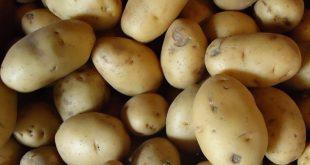 قیمت خرید بذر سیب زمینی