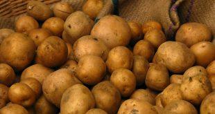 تجارت بذر سیب زمینی