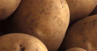 فروش عمده بذر سیب زمینی شیرین اصفهان