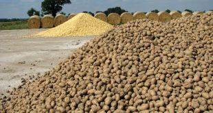 قیمت فروش بذر سیب زمینی جلی