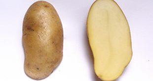 اخذ نمایندگی بذر سیب زمینی آگریا