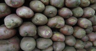 بذر سیب زمینی جیلی