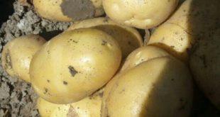 فروش بذر سیب زمینی