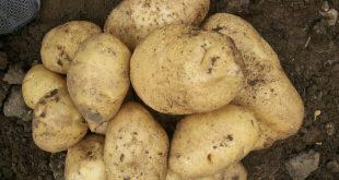 واردات بذر سیب زمینی