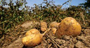 بذر سیب زمینی اسپریت چادگان