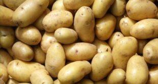 بذر سیب زمینی صنعتی سنندج