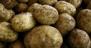 بذر سیب زمینی بانبا سنندج