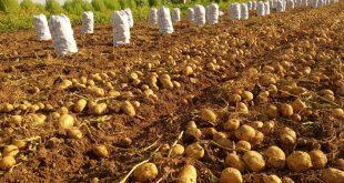 بذر سیب زمینی میلوا