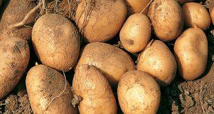 بذر سیب زمینی صنعتی چادگان