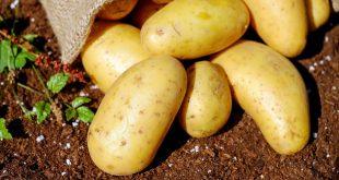 بذر سیب زمینی صنعتی