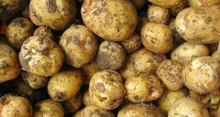 بذر سیب زمینی راموس جیرفت