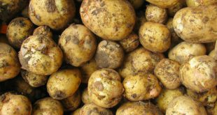 بذر سیب زمینی راموس همدان