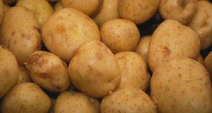 بذر سیب زمینی اسپریت لالجین همدان